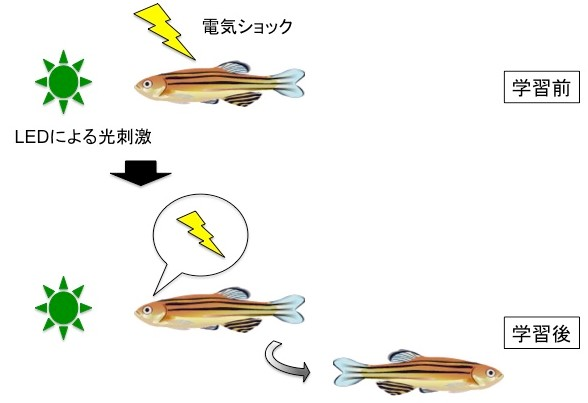 [Pressrelese] How can animals sense danger?-Discovery of the neural circuit for fear conditioning of fish